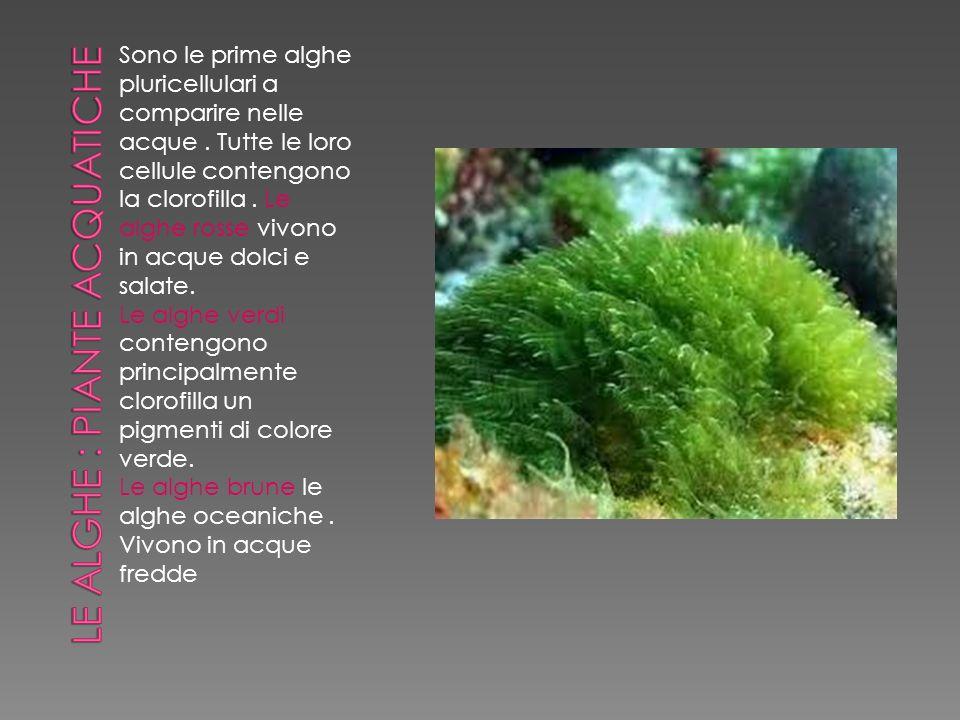 Sono le prime alghe pluricellulari a comparire nelle acque. Tutte le loro cellule contengono la clorofilla. Le alghe rosse vivono in acque dolci e sal