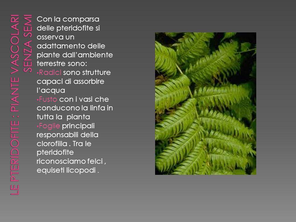 Con la comparsa delle pteridofite si osserva un adattamento delle piante dallambiente terrestre sono: Radici sono strutture capaci di assorbire lacqua