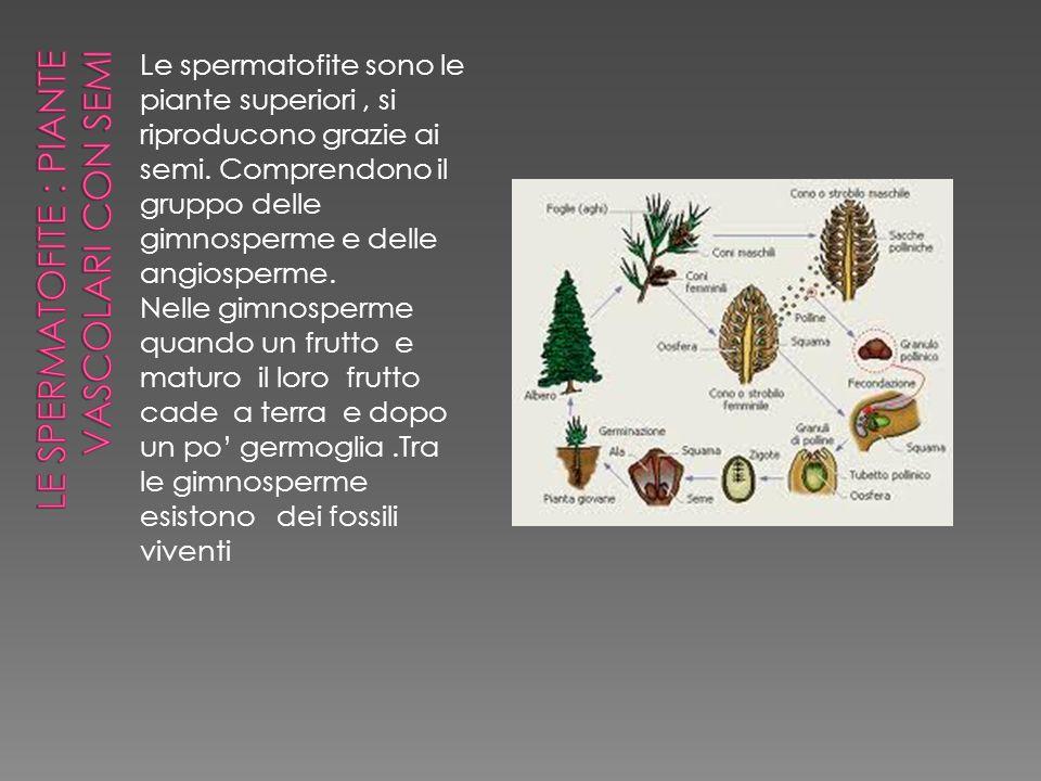 Le spermatofite sono le piante superiori, si riproducono grazie ai semi. Comprendono il gruppo delle gimnosperme e delle angiosperme. Nelle gimnosperm