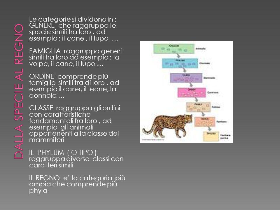 Le categorie si dividono in : GENERE che raggruppa le specie simili tra loro, ad esempio : il cane, il lupo … FAMIGLIA raggruppa generi simili tra lor