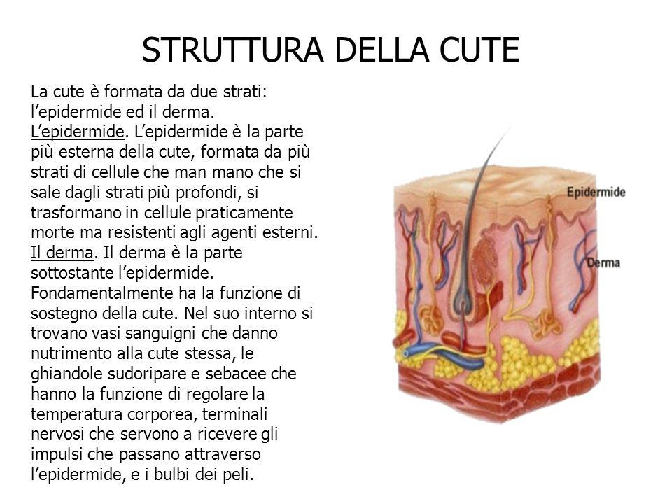La cute è formata da due strati: lepidermide ed il derma. Lepidermide. Lepidermide è la parte più esterna della cute, formata da più strati di cellule
