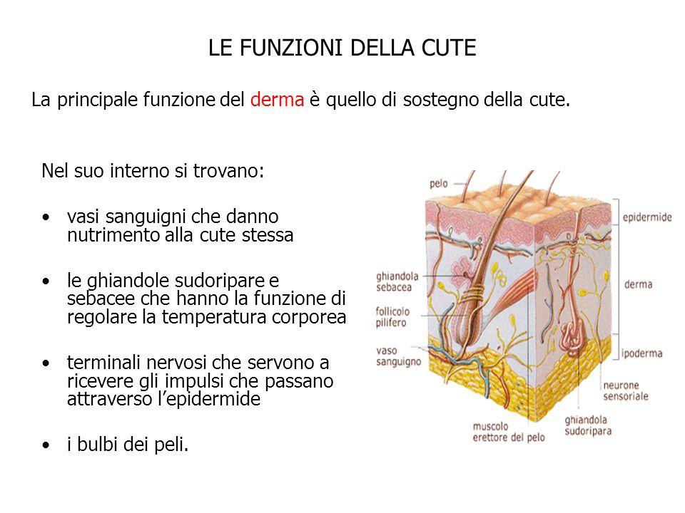 Nel suo interno si trovano: vasi sanguigni che danno nutrimento alla cute stessa le ghiandole sudoripare e sebacee che hanno la funzione di regolare l