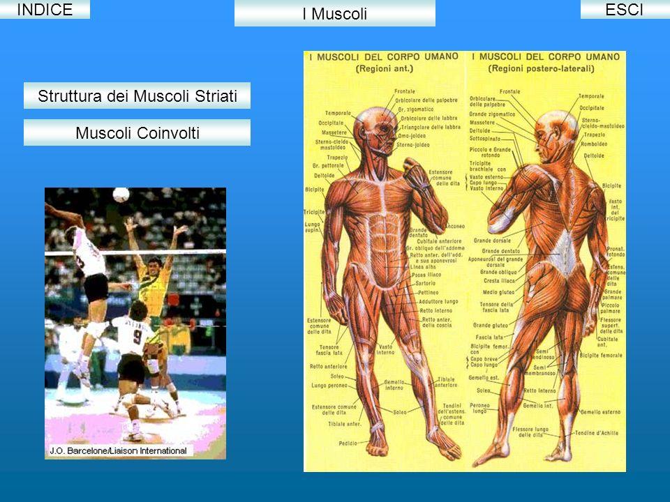 INDICE I Muscoli Struttura dei Muscoli Striati Muscoli Coinvolti ESCI