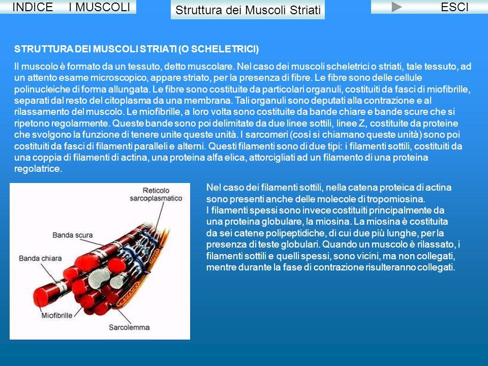 INDICE Struttura dei Muscoli Striati ESCI STRUTTURA DEI MUSCOLI STRIATI (O SCHELETRICI) Il muscolo è formato da un tessuto, detto muscolare. Nel caso