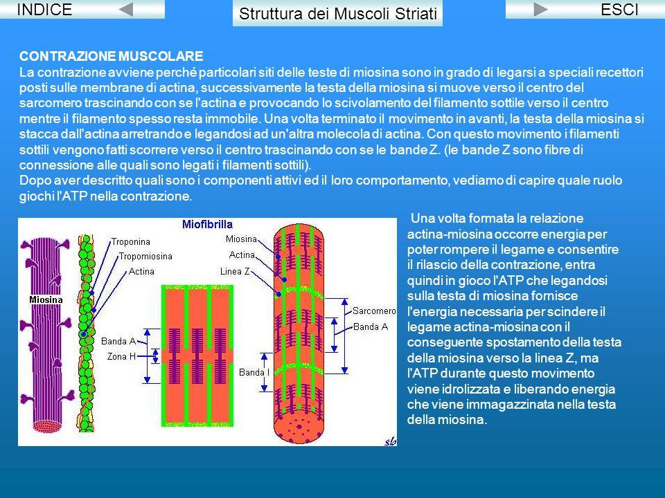 INDICE Struttura dei Muscoli Striati CONTRAZIONE MUSCOLARE La contrazione avviene perché particolari siti delle teste di miosina sono in grado di lega