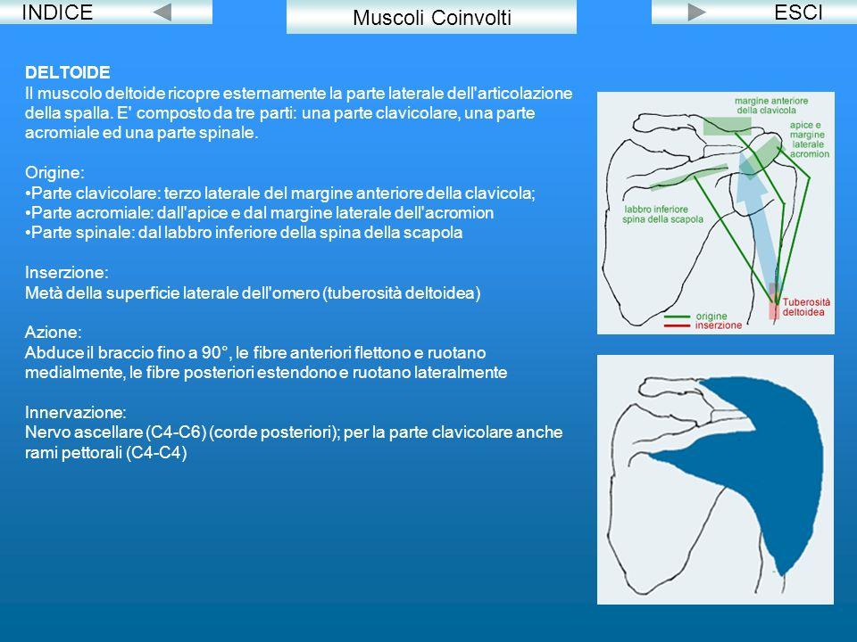 INDICEESCI DELTOIDE Il muscolo deltoide ricopre esternamente la parte laterale dell'articolazione della spalla. E' composto da tre parti: una parte cl