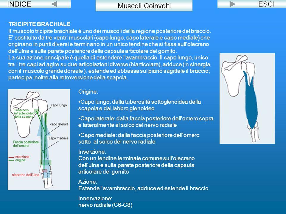 INDICEESCI TRICIPITE BRACHIALE Il muscolo tricipite brachiale è uno dei muscoli della regione posteriore del braccio. E' costituito da tre ventri musc