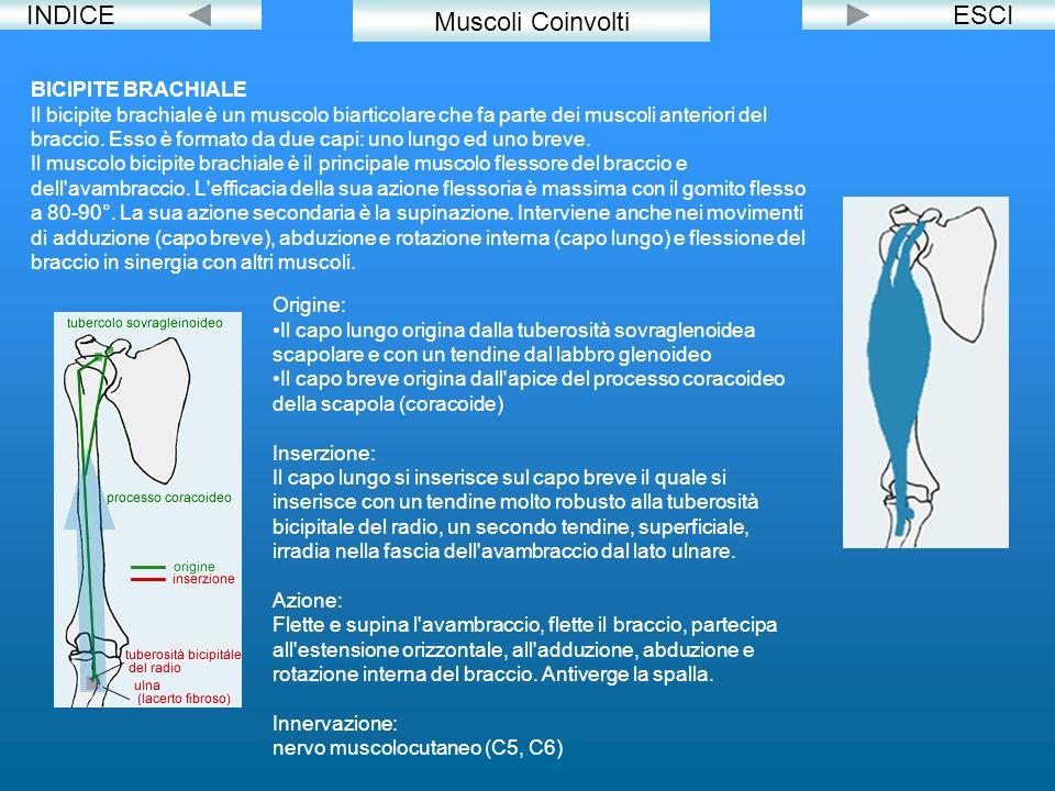 INDICEESCI BICIPITE BRACHIALE Il bicipite brachiale è un muscolo biarticolare che fa parte dei muscoli anteriori del braccio. Esso è formato da due ca