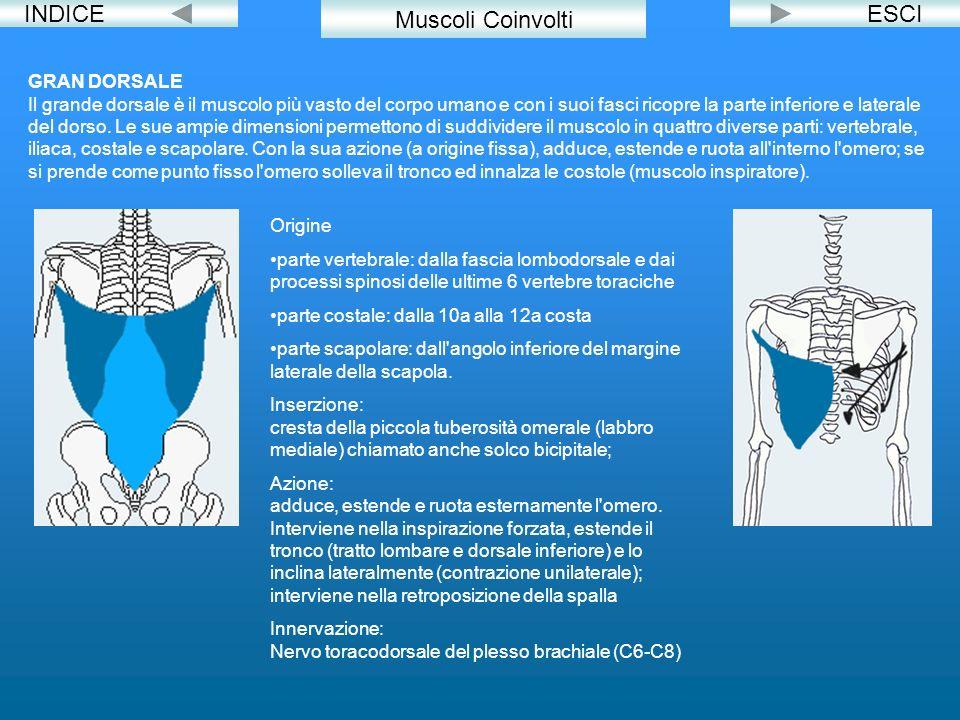 INDICEESCI GRAN DORSALE Il grande dorsale è il muscolo più vasto del corpo umano e con i suoi fasci ricopre la parte inferiore e laterale del dorso. L