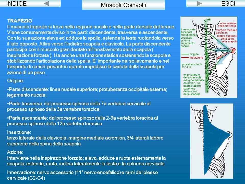 INDICEESCI Muscoli Coinvolti TRAPEZIO Il muscolo trapezio si trova nella regione nucale e nella parte dorsale del torace. Viene comunemente diviso in
