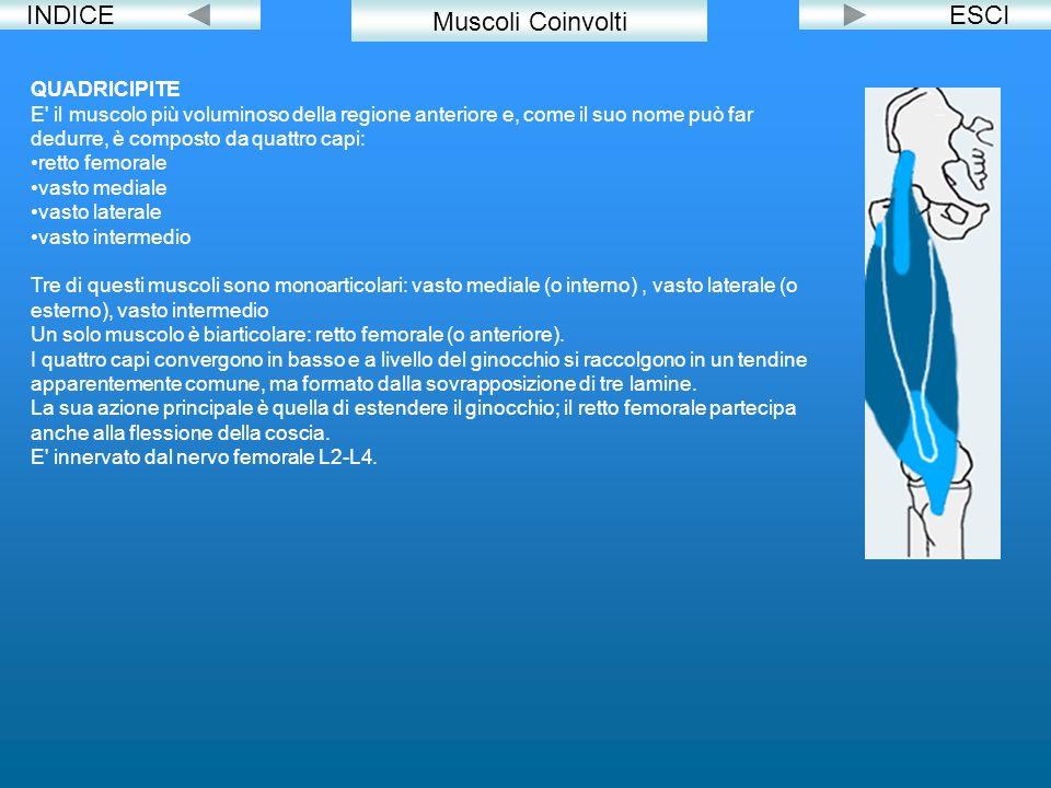 INDICEESCI Muscoli Coinvolti QUADRICIPITE E' il muscolo più voluminoso della regione anteriore e, come il suo nome può far dedurre, è composto da quat