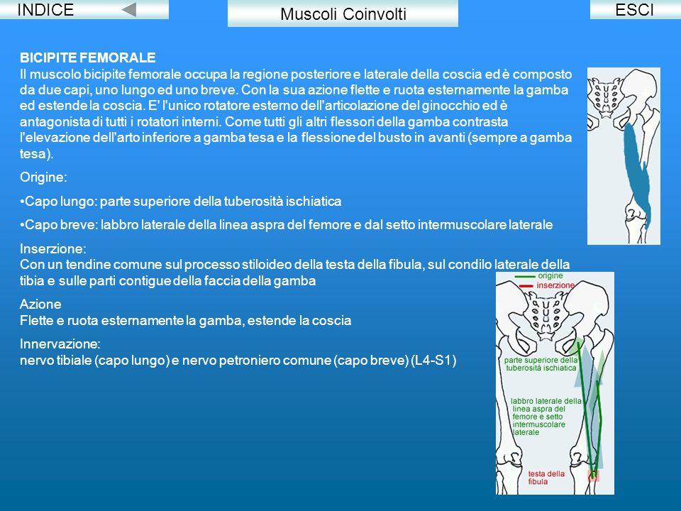 INDICEESCI Muscoli Coinvolti BICIPITE FEMORALE Il muscolo bicipite femorale occupa la regione posteriore e laterale della coscia ed è composto da due