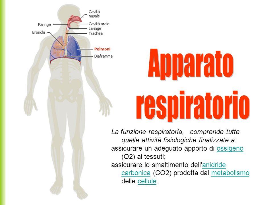 La funzione respiratoria, comprende tutte quelle attività fisiologiche finalizzate a: assicurare un adeguato apporto di ossigeno (O2) ai tessuti;ossig