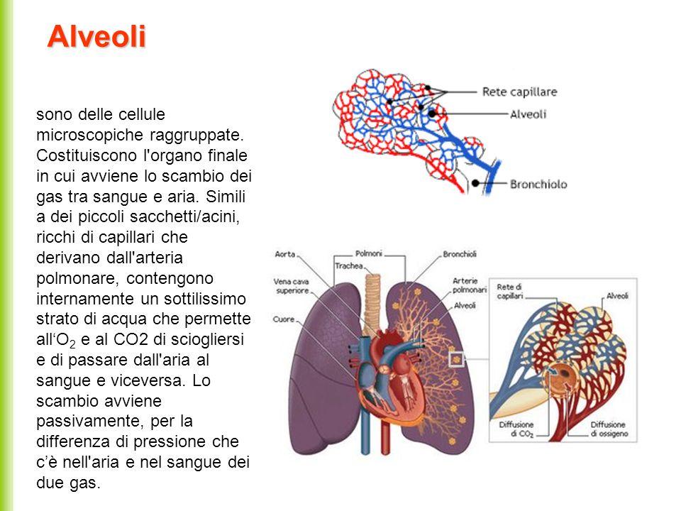 Alveoli sono delle cellule microscopiche raggruppate. Costituiscono l'organo finale in cui avviene lo scambio dei gas tra sangue e aria. Simili a dei