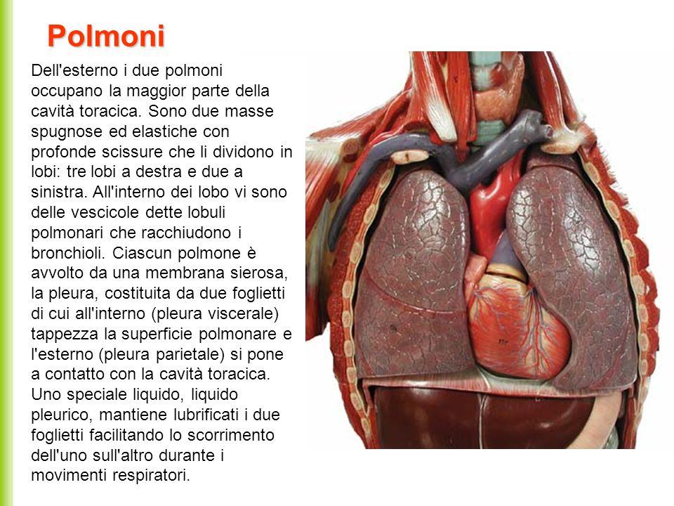 Polmoni Dell'esterno i due polmoni occupano la maggior parte della cavità toracica. Sono due masse spugnose ed elastiche con profonde scissure che li