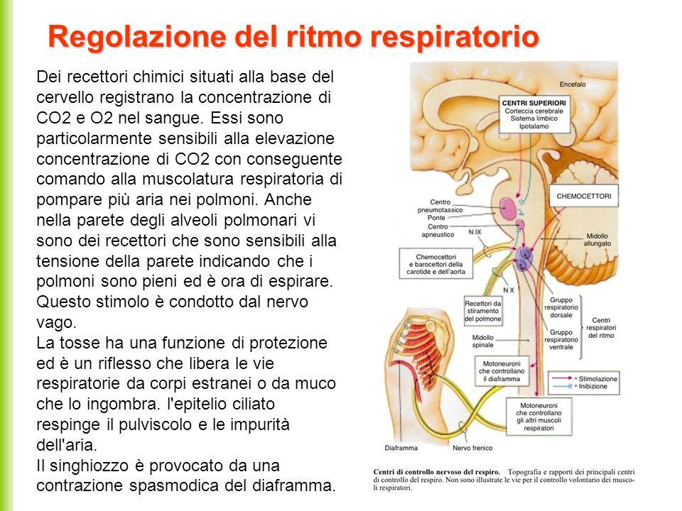 Regolazione del ritmo respiratorio Dei recettori chimici situati alla base del cervello registrano la concentrazione di CO2 e O2 nel sangue. Essi sono
