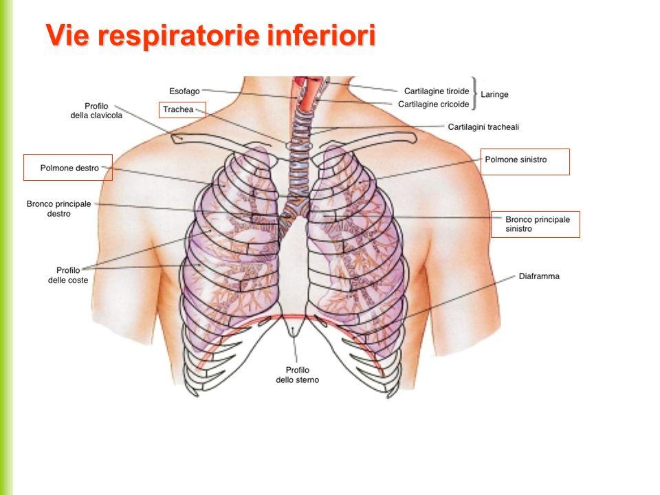 Vie respiratorie inferiori
