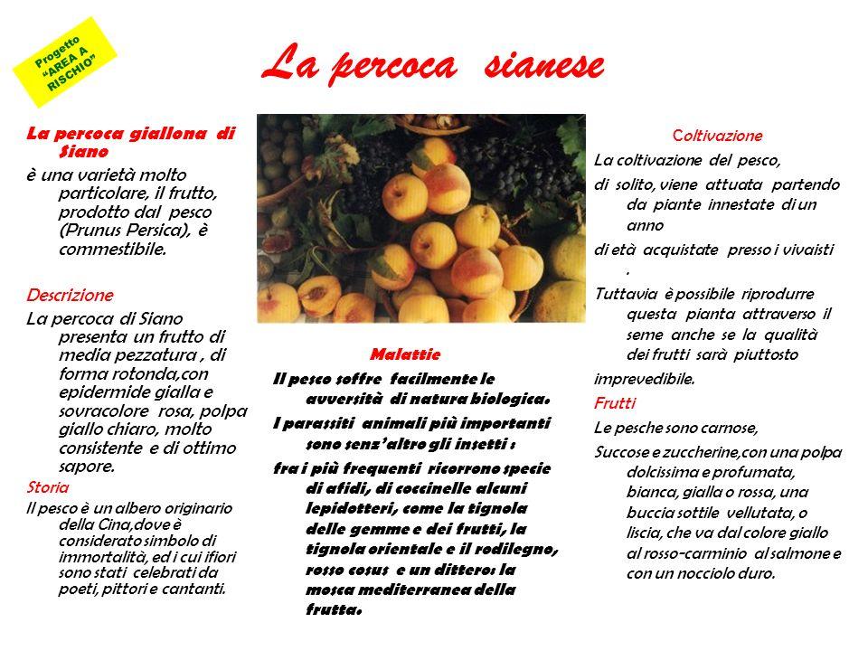 La percoca sianese La percoca giallona di Siano è una varietà molto particolare, il frutto, prodotto dal pesco (Prunus Persica), è commestibile. Descr
