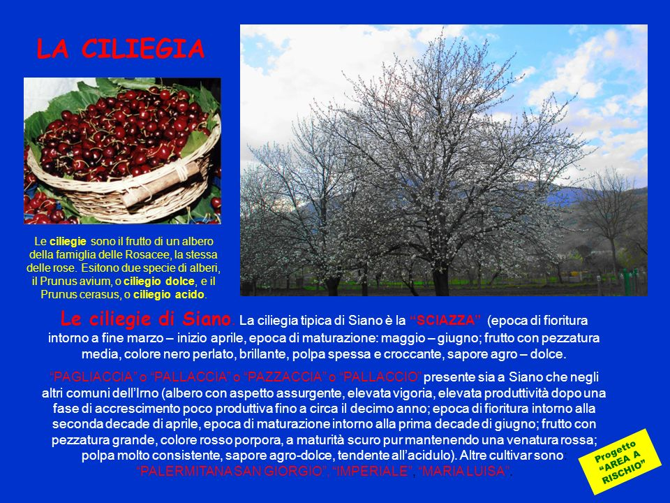 LA CILIEGIA Progetto AREA A RISCHIO Le ciliegie di Siano. La ciliegia tipica di Siano è la SCIAZZA (epoca di fioritura intorno a fine marzo – inizio a