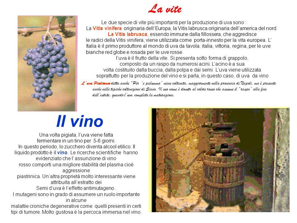 La vite Luva Piedirosso detta anche Pèr e palummo viene coltivata, maggiormente nella provincia di Napoli, ma è presente anche nelle tipiche coltivazioni di Siano.