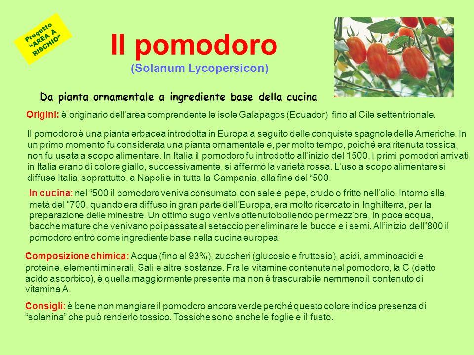Il pomodoro Il pomodoro è una pianta erbacea introdotta in Europa a seguito delle conquiste spagnole delle Americhe. In un primo momento fu considerat