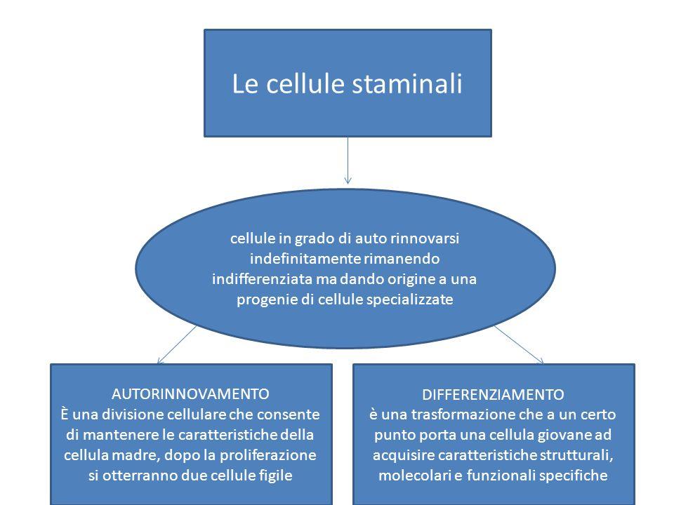 Le cellule staminali cellule in grado di auto rinnovarsi indefinitamente rimanendo indifferenziata ma dando origine a una progenie di cellule specializzate AUTORINNOVAMENTO È una divisione cellulare che consente di mantenere le caratteristiche della cellula madre, dopo la proliferazione si otterranno due cellule figile DIFFERENZIAMENTO è una trasformazione che a un certo punto porta una cellula giovane ad acquisire caratteristiche strutturali, molecolari e funzionali specifiche