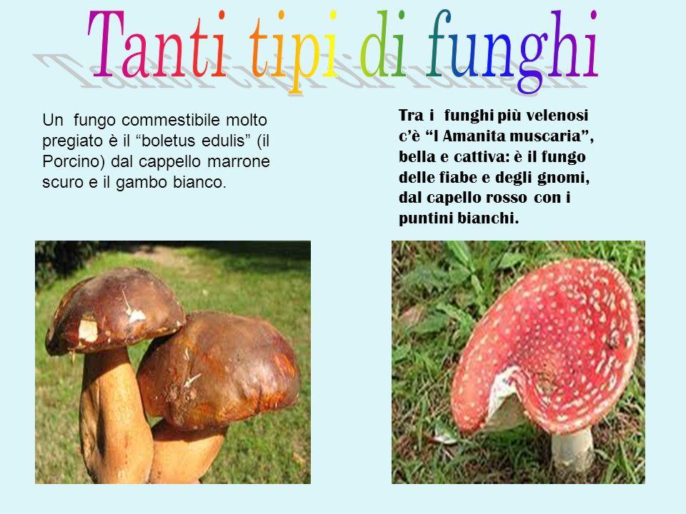 Un fungo commestibile molto pregiato è il boletus edulis (il Porcino) dal cappello marrone scuro e il gambo bianco.