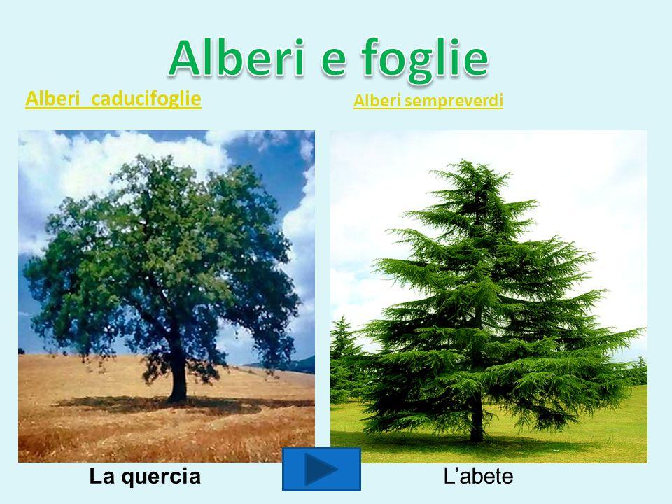 Alberi caducifoglie Alberi sempreverdi La querciaLabete