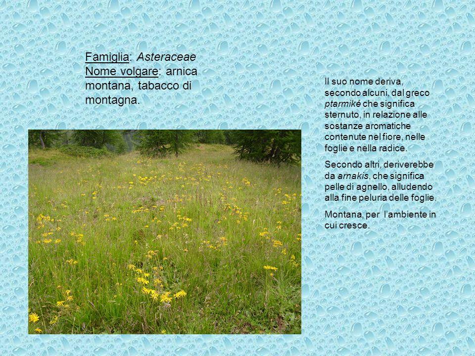 Famiglia: Asteraceae Nome volgare: arnica montana, tabacco di montagna. Il suo nome deriva, secondo alcuni, dal greco ptarmiké che significa sternuto,