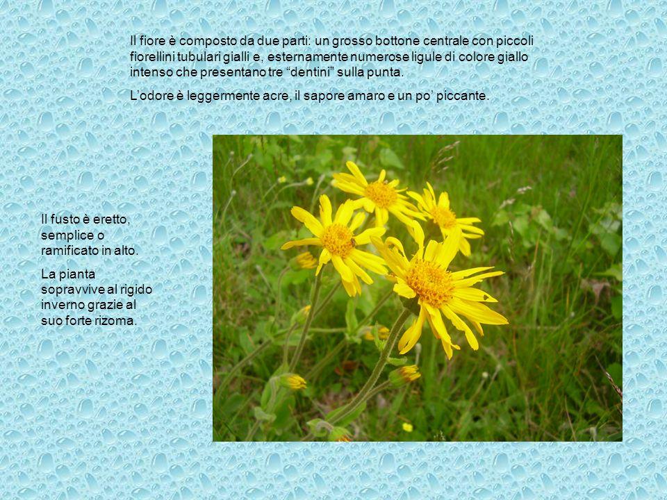 Il fusto è eretto, semplice o ramificato in alto. La pianta sopravvive al rigido inverno grazie al suo forte rizoma. Il fiore è composto da due parti: