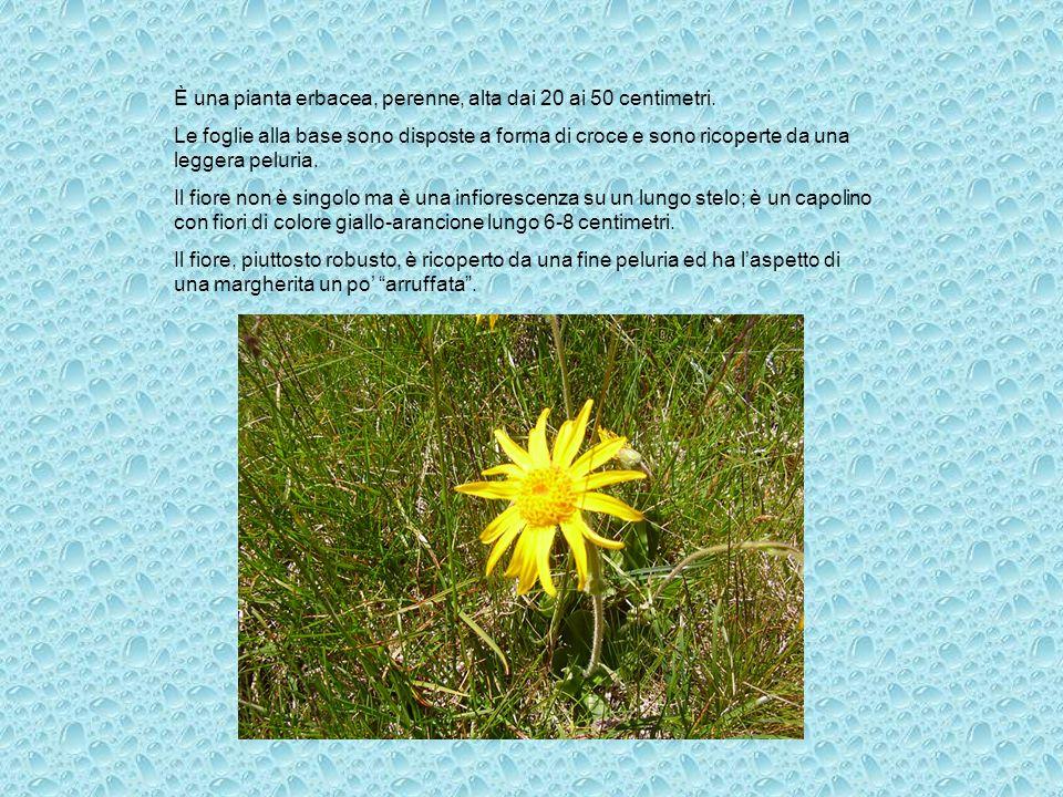 È una pianta erbacea, perenne, alta dai 20 ai 50 centimetri. Le foglie alla base sono disposte a forma di croce e sono ricoperte da una leggera peluri