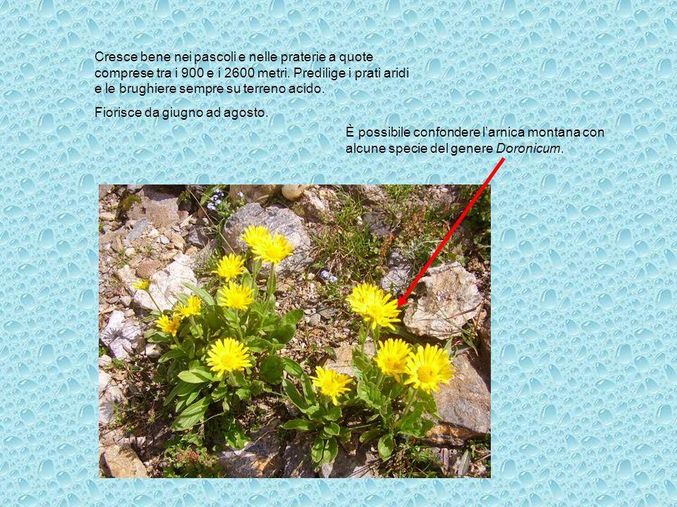 Cresce bene nei pascoli e nelle praterie a quote comprese tra i 900 e i 2600 metri. Predilige i prati aridi e le brughiere sempre su terreno acido. Fi