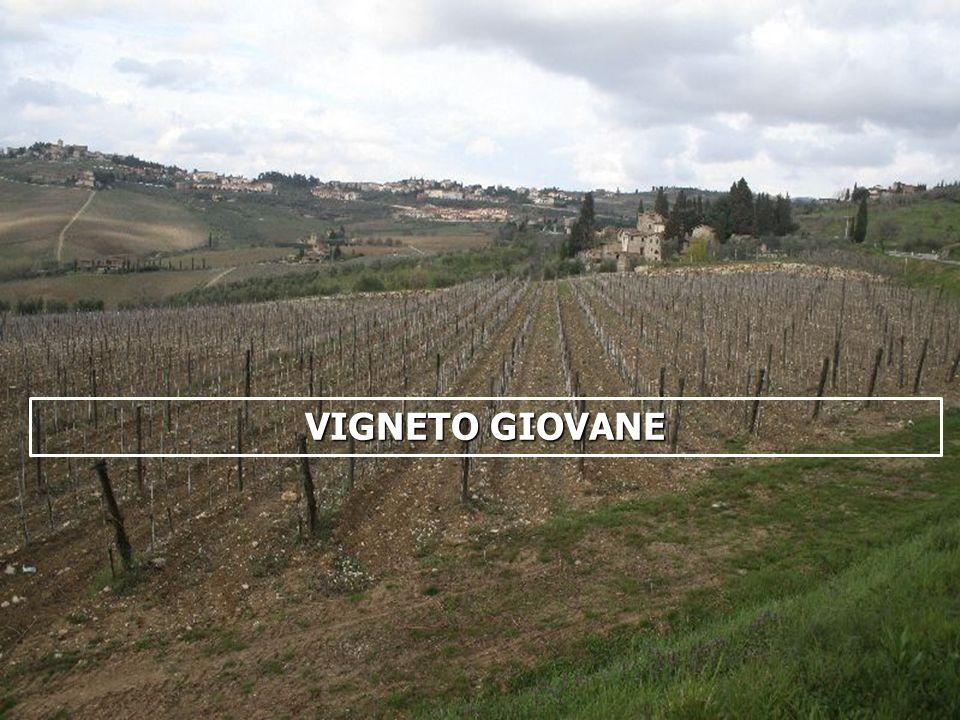 16/05/201418 VIGNETO GIOVANE