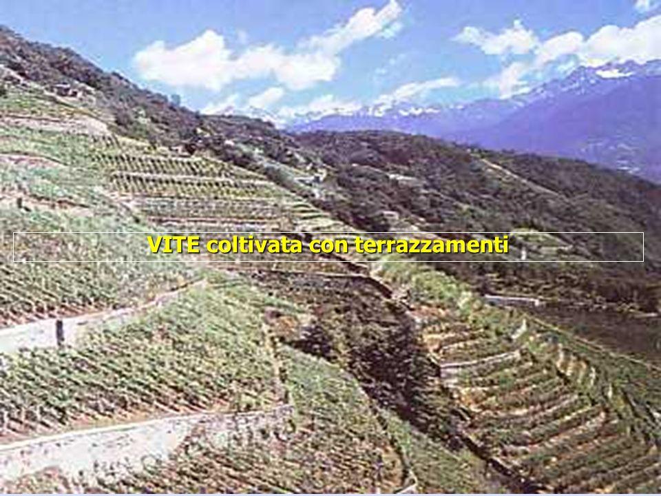 16/05/201425 VITE coltivata con terrazzamenti