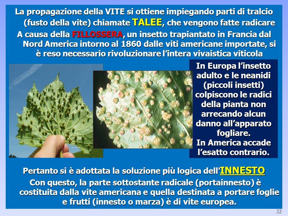 La propagazione della VITE si ottiene impiegando parti di tralcio (fusto della vite) chiamate TALEE, che vengono fatte radicare A causa della FILLOSSE