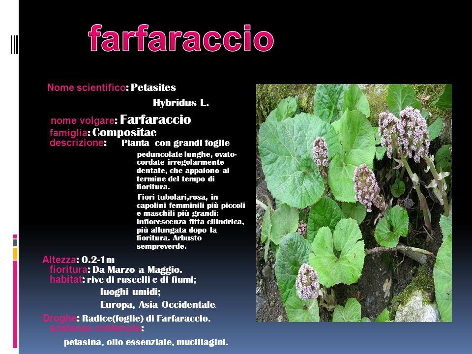 Nome scientifico : Petasites Hybridus L. nome volgare : Farfaraccio famiglia : Compositae descrizione : Pianta con grandi foglie peduncolate lunghe, o