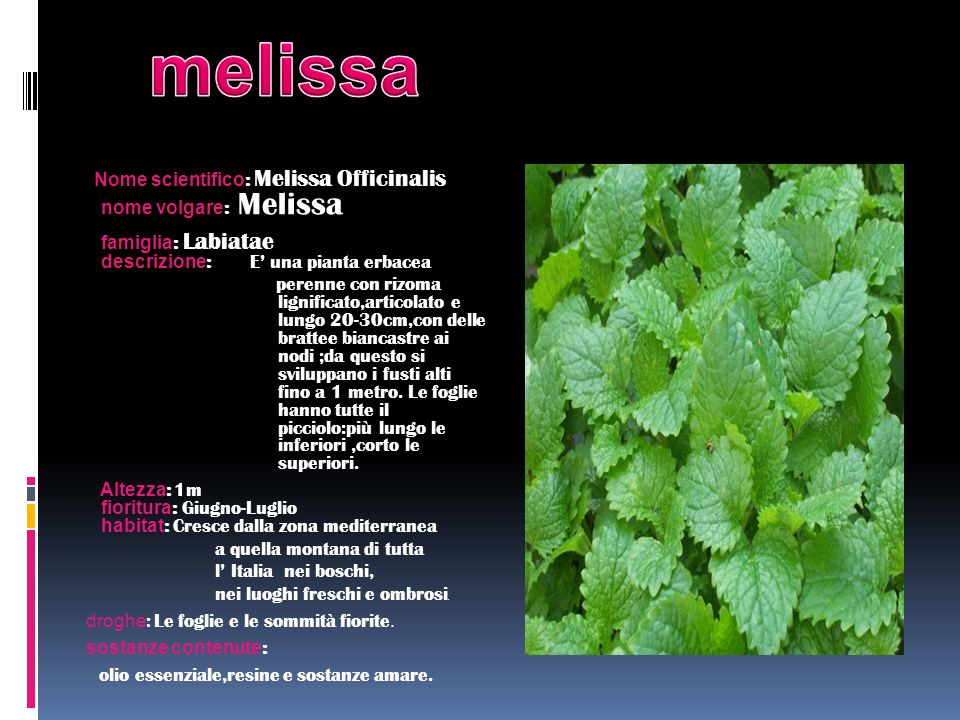 Nome scientifico : Melissa Officinalis nome volgare : Melissa famiglia : Labiatae descrizione : E una pianta erbacea perenne con rizoma lignificato,ar