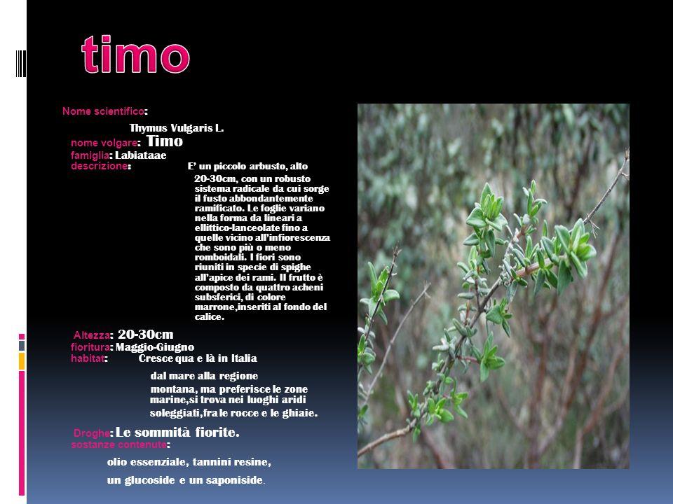 Nome scientifico : Thymus Vulgaris L. nome volgare : Timo famiglia : Labiataae descrizione : E un piccolo arbusto, alto 20-30cm, con un robusto sistem