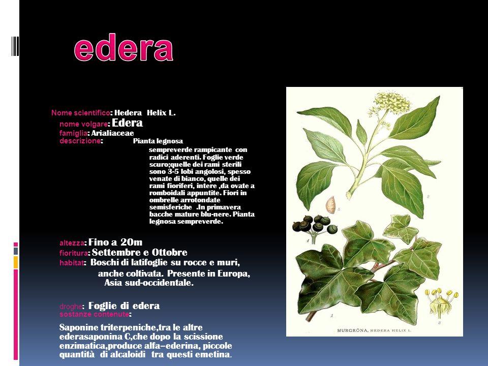 Nome scientifico : Hedera Helix L. nome volgare : Edera famiglia : Arialiaceae descrizione : Pianta legnosa sempreverde rampicante con radici aderenti
