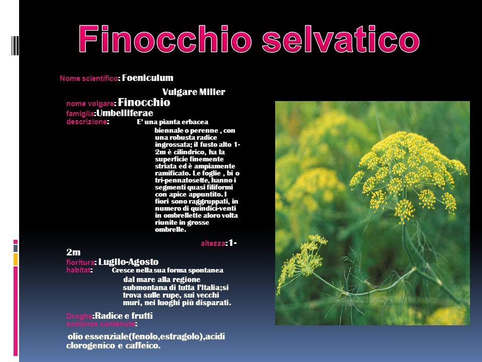 Nome scientifico : Foeniculum Vulgare Miller nome volgare : Finocchio famiglia : Umbelliferae descrizione : E una pianta erbacea biennale o perenne, c