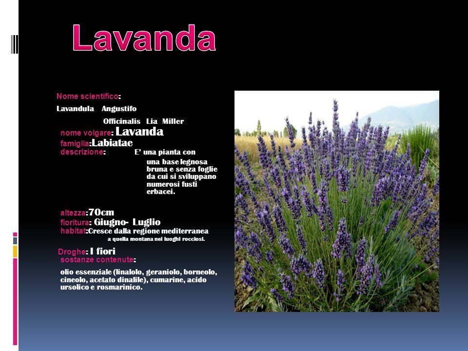 Nome scientifico : Lavandula Angustifo Officinalis Lia Miller nome volgare : Lavanda famiglia : Labiatae descrizione : E una pianta con una base legno