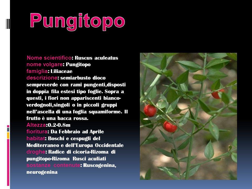 Nome scientifico : Ruscus aculeatus nome volgare : Pungitopo famiglia : Liliaceae descrizione : semiarbusto dioco sempreverde con rami pungenti,dispos