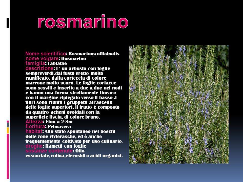 Nome scientifico : Rosmarinus officinalis nome volgare : Rosmarino famiglia : Labiatae descrizione : E un arbusto con foglie sempreverdi,dal fusto ere