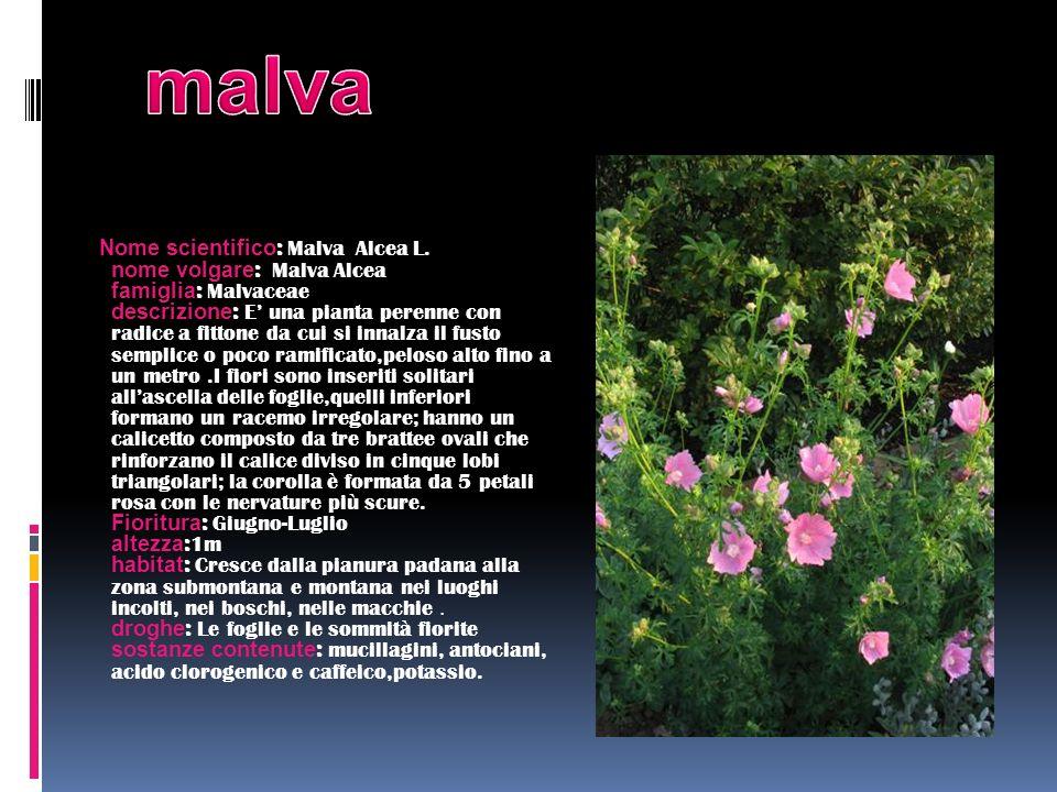 Nome scientifico : Malva Alcea L. nome volgare : Malva Alcea famiglia : Malvaceae descrizione : E una pianta perenne con radice a fittone da cui si in