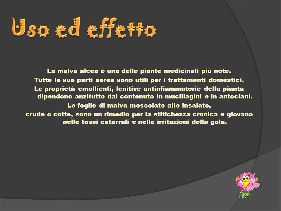La malva alcea è una delle piante medicinali più note. Tutte le sue parti aeree sono utili per i trattamenti domestici. Le proprietà emollienti, lenit