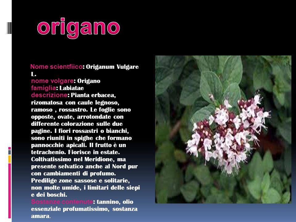 Nome scientfiico : Origanum Vulgare L. nome volgare : Origano famiglia : Labiatae descrizione : Pianta erbacea, rizomatosa con caule legnoso, ramoso,