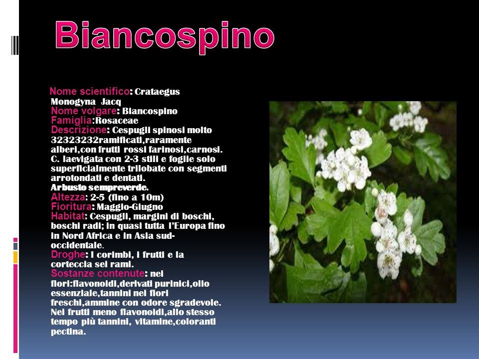 Nome scientifico : Crataegus Monogyna Jacq Nome volgare : Biancospino Famiglia: Rosaceae Descrizione : Cespugli spinosi molto 32323232ramificati,raram