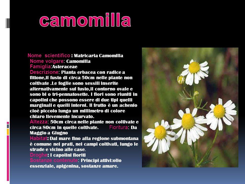 Nome scientifico : Matricaria Camomilla Nome volgare: Camomilla Famiglia: Asteraceae Descrizione: Pianta erbacea con radice a fittone,il fusto di circ