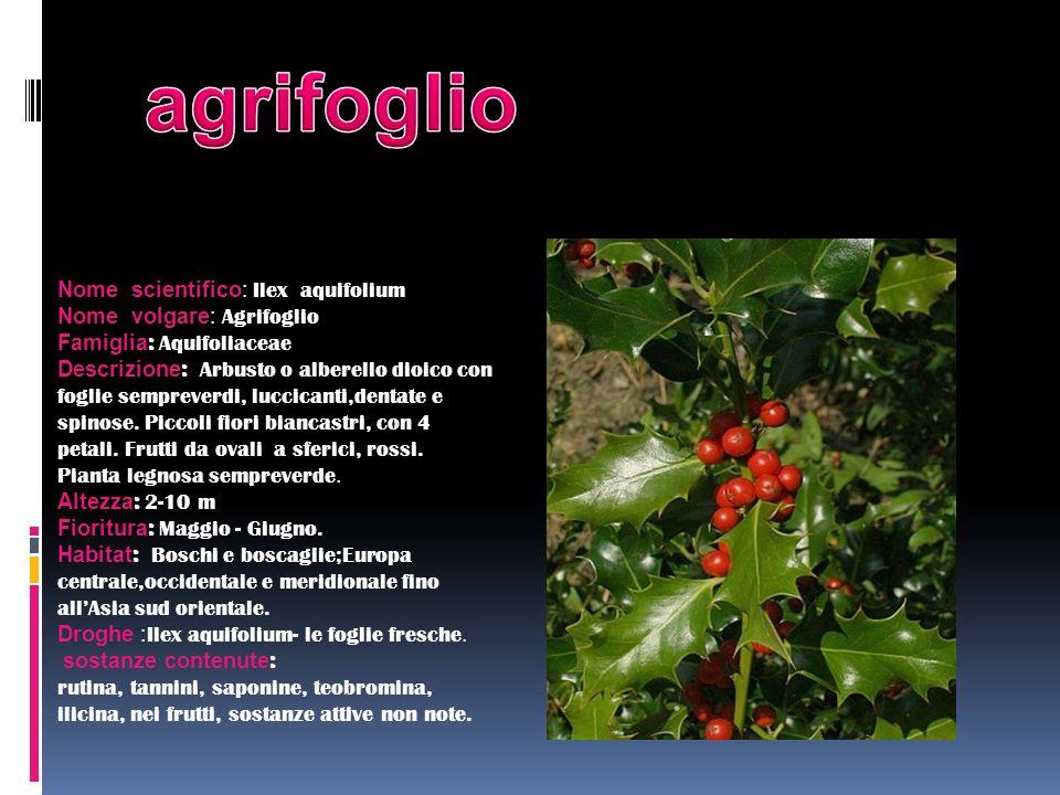 Nome scientifico: Ilex aquifolium Nome volgare: Agrifoglio Famiglia : Aquifoliaceae Descrizione : Arbusto o alberello dioico con foglie sempreverdi, l