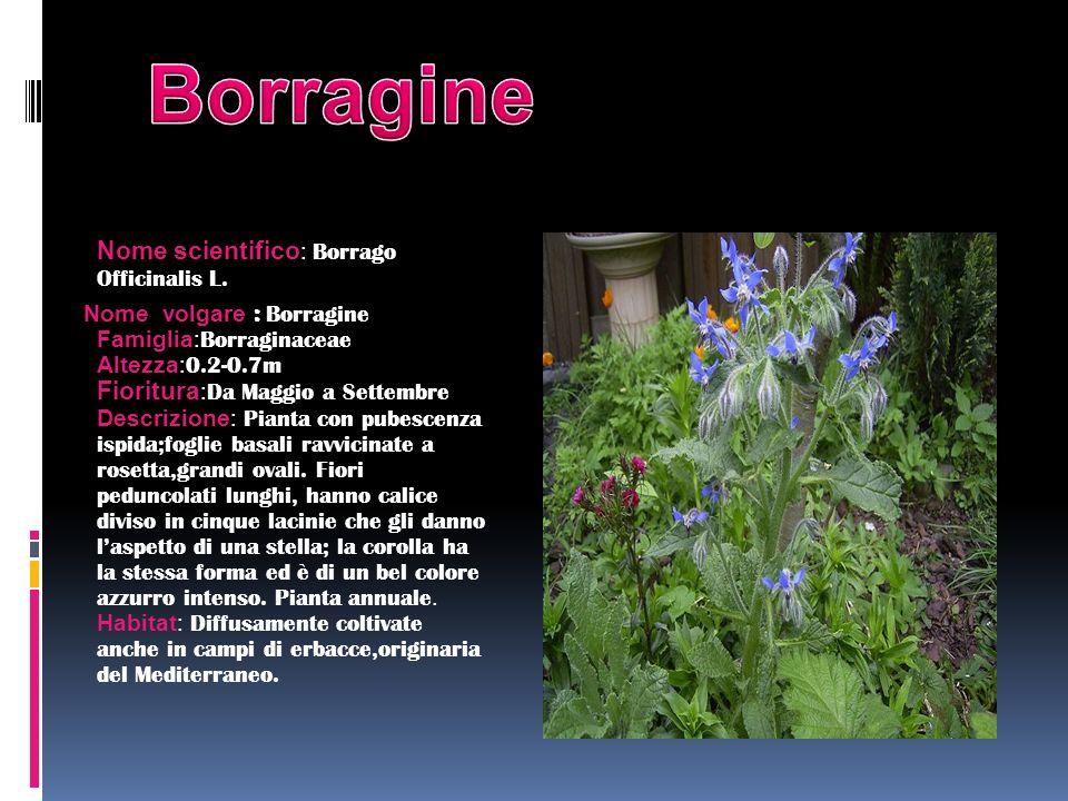Nome scientifico : Borrago Officinalis L. Nome volgare : Borragine Famiglia: Borraginaceae Altezza: 0.2-0.7m Fioritura : Da Maggio a Settembre Descriz